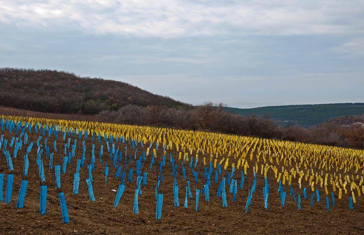 Утепление виноградника в Крыму зимой 2014-15 годов