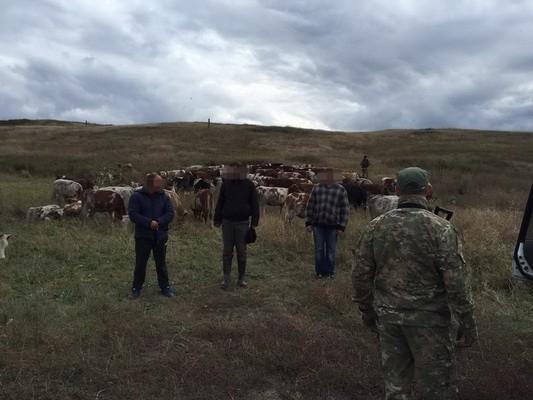 На Луганщине задержан местный житель, который пытался отправить 110 коров в Россию (фото видео)