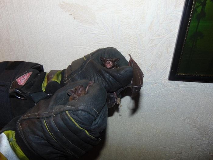 В Рубежном спасали из жилой квартиры 26 летучих мышей