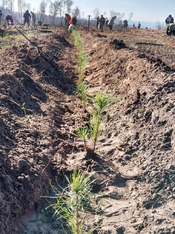 На Луганщине вместо сгоревшего леса посадили десять тысяч хвойных деревьев из Львовской области