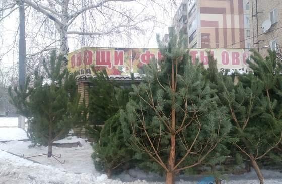 Сосны в Луганск везут из Ростовской и Пензенской областей. Почем новогодние елки в Луганске
